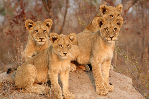 Lion Cubs - Four